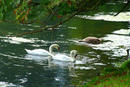 swans  lake  park