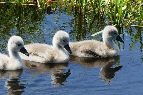 swans  chicks  nature