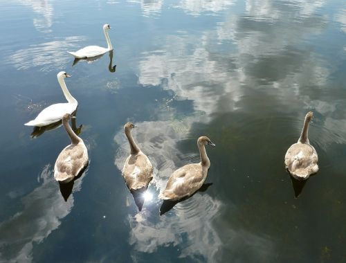 swans nature water