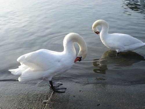 swans lake water