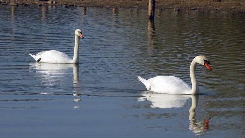 swans swan nature