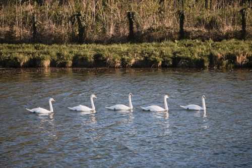 swans group water