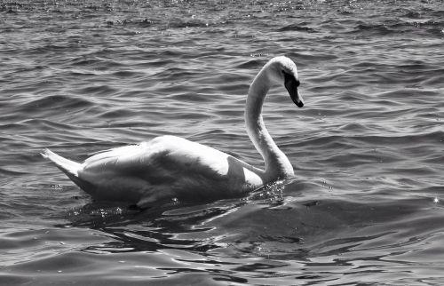 swans waterfowl geese