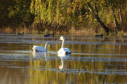 swans on the pond swan water-level