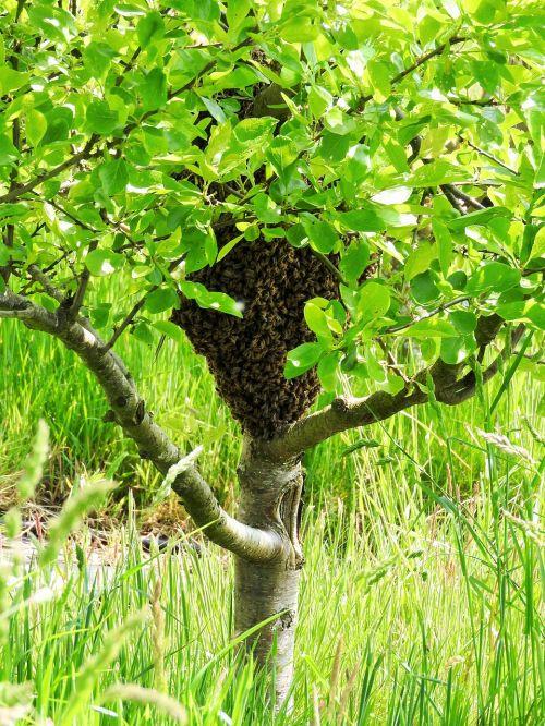 swarm plum tree bees