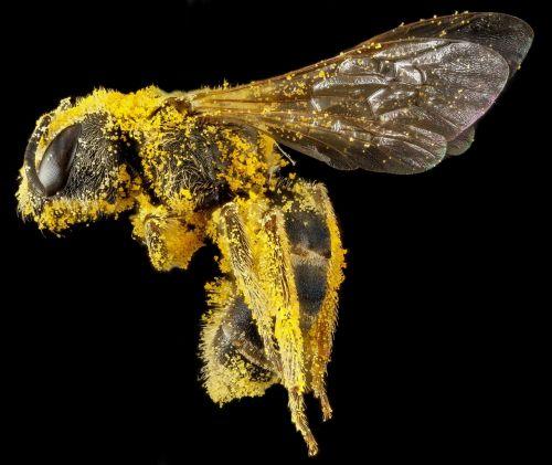sweat bee pollen macro
