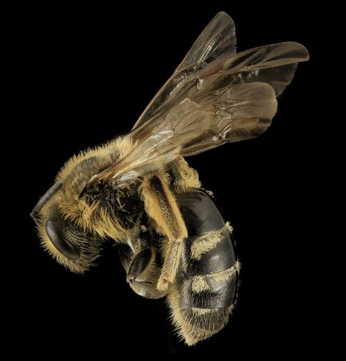 sweat bee insect macro