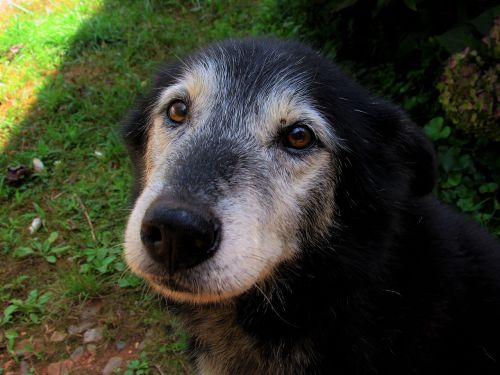 sweet old dog