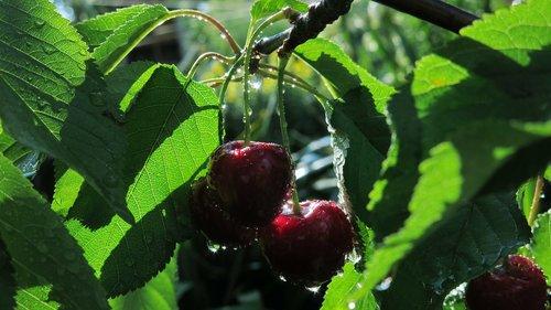 sweet cherries  sweet cherry kordia  cartilage cherries