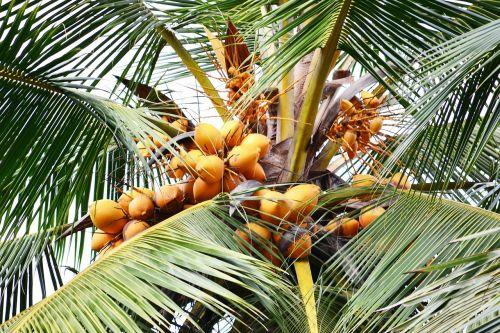 sweet coconut orange coconut coconut