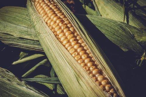 sweet corn  vegetables  food