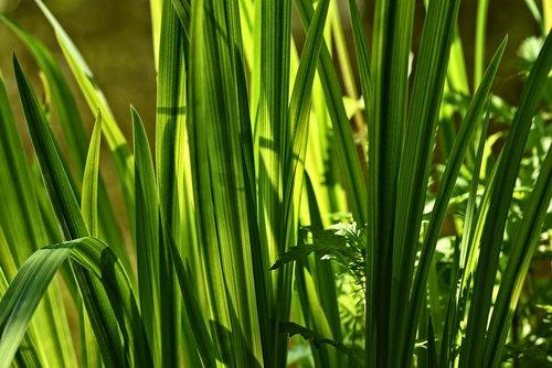 sweet flag  beewort  calamus root