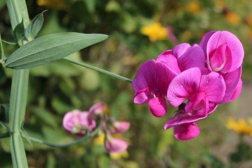 sweet pea scented dashing garden