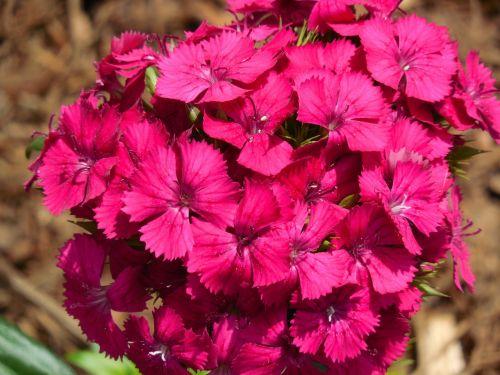 sweet william dianthus flower