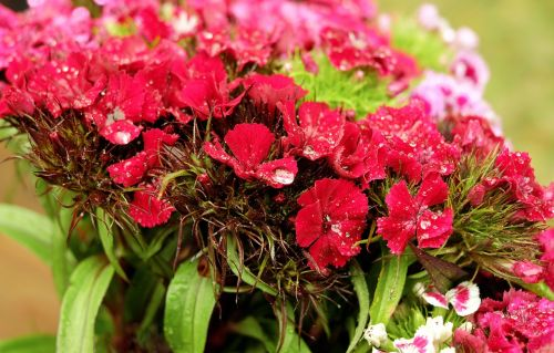 sweet william flower flowers