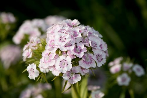 sweet william carnation carnation family