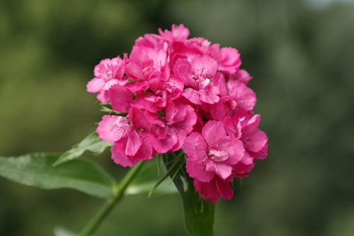 sweet william inflorescence blossom