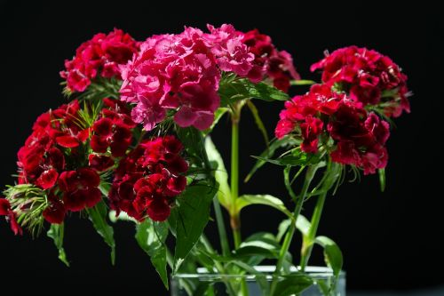 sweet william inflorescences flowers