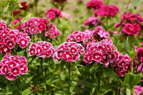 sweet william carnation flower