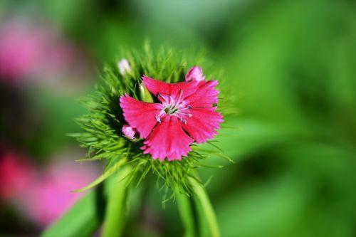 sweet william macro pink