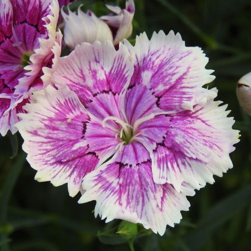 sweet william blossom bloom