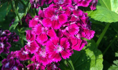 sweet-william clove flower