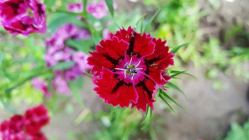 sweet william dianthus carnation