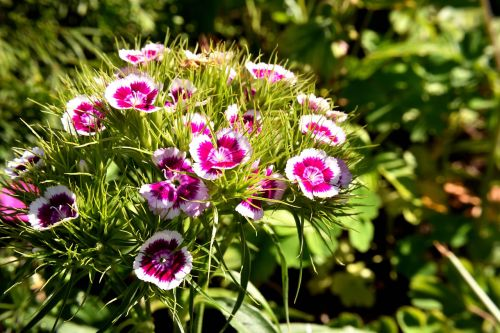 sweet william blossom bloom