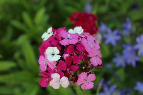 sweet william summer garden