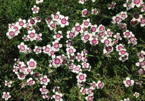 sweet william dianthus barbatus pink