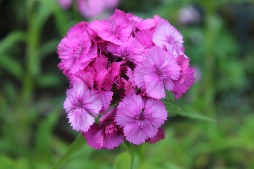 sweet william  carnation  purple