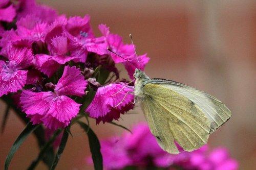 sweet william  butterfly  garden