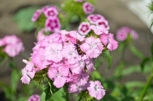 sweet-william  flower  flora