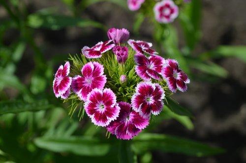 sweet-william  flower  bloom