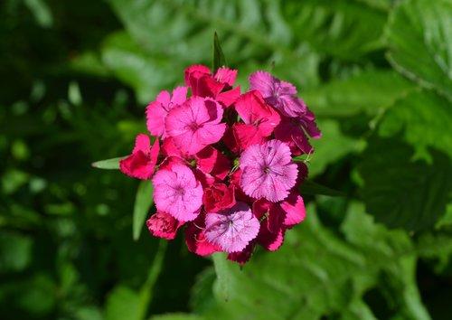 sweet-william  flower  pink flower