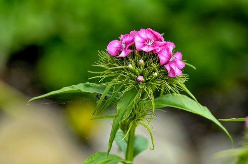 sweet william  flower  dianthus