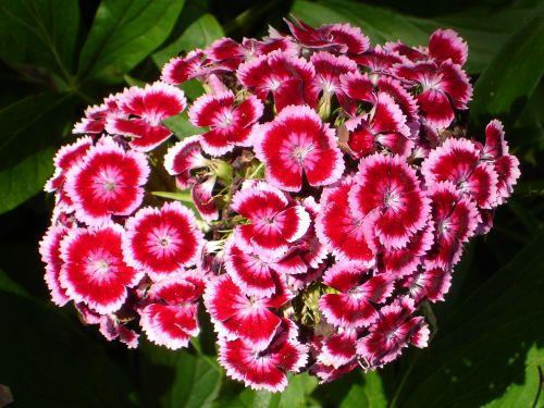 sweet william carnation blossom