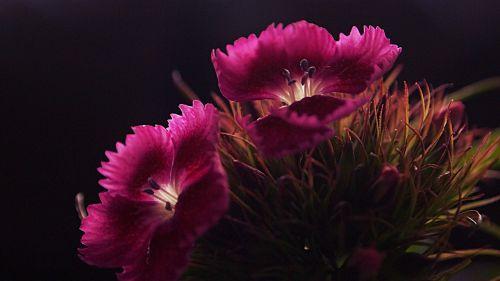 sweet william flowers pink