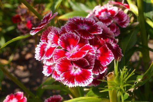 sweet william plant flowers