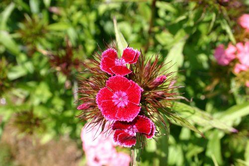 sweet william flower summer