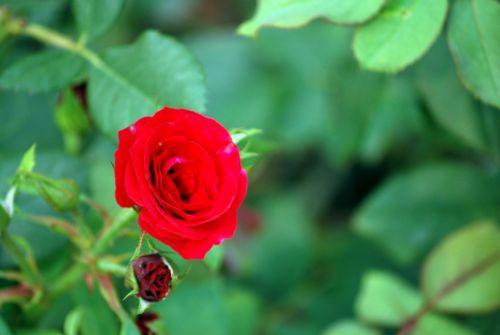 Sweetheart Rose