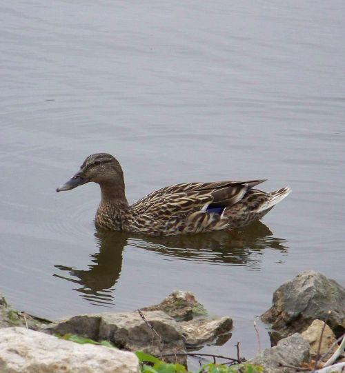 Swimming Female Mallard Duck