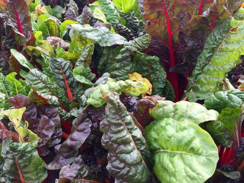 swiss chard leafy greens chard
