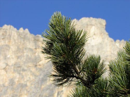 swiss stone pine arve conifer