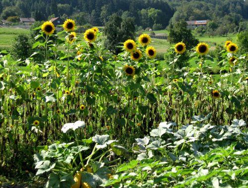 Swiss Sunflowers And Squash