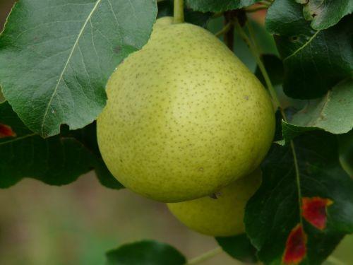 swiss wasserbirne pear most pear