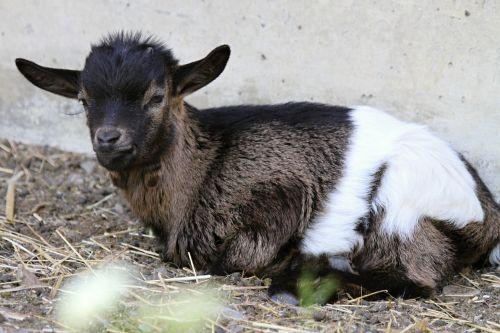 switzerland goat goat baby