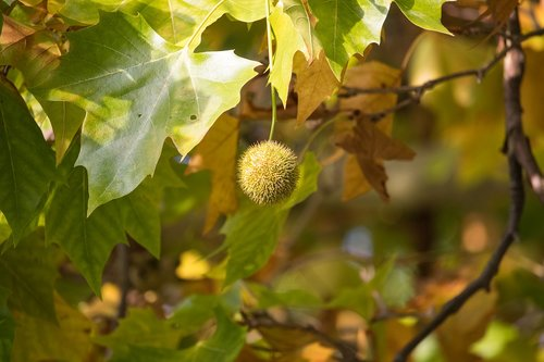 sycamore  fruit  maple leaved plane