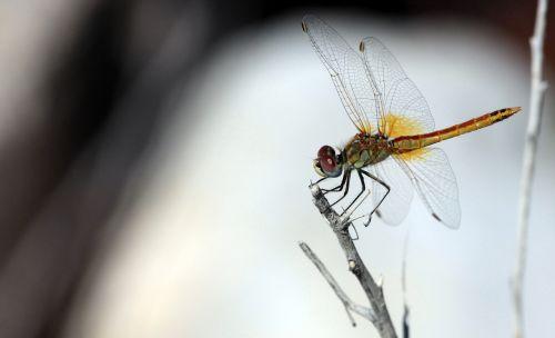 sympetrum frequens dragonfly