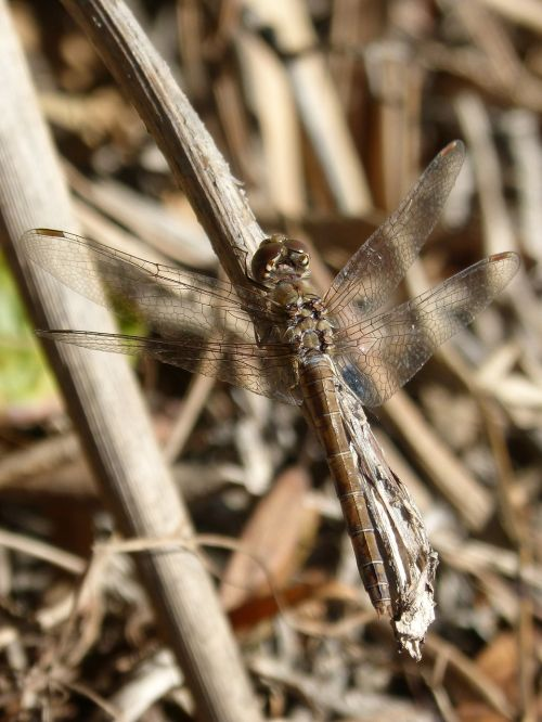 sympetrum striolatum dragonfly winged insect